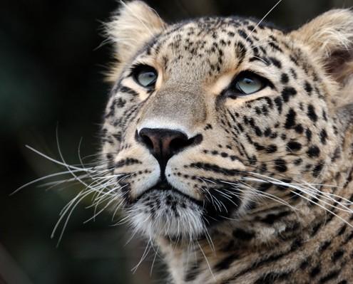 Leopard-Startseite