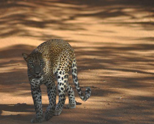 zootier-des-jahres-zgap-08-09-2016-sri-lanka-leopard
