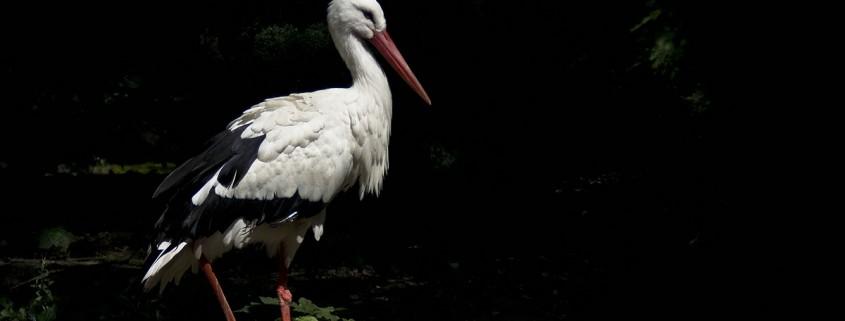 035 Storch | Tiergarten Mönchengladbach